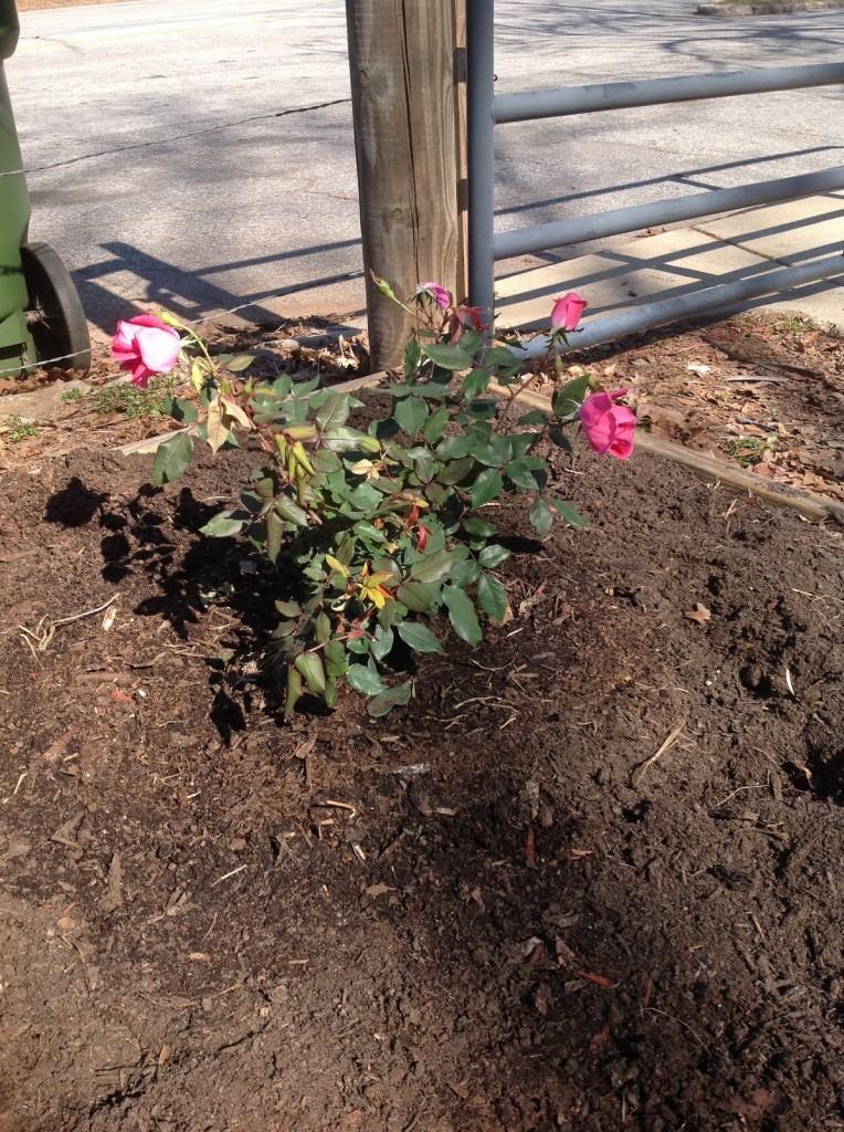 rose baby 3
