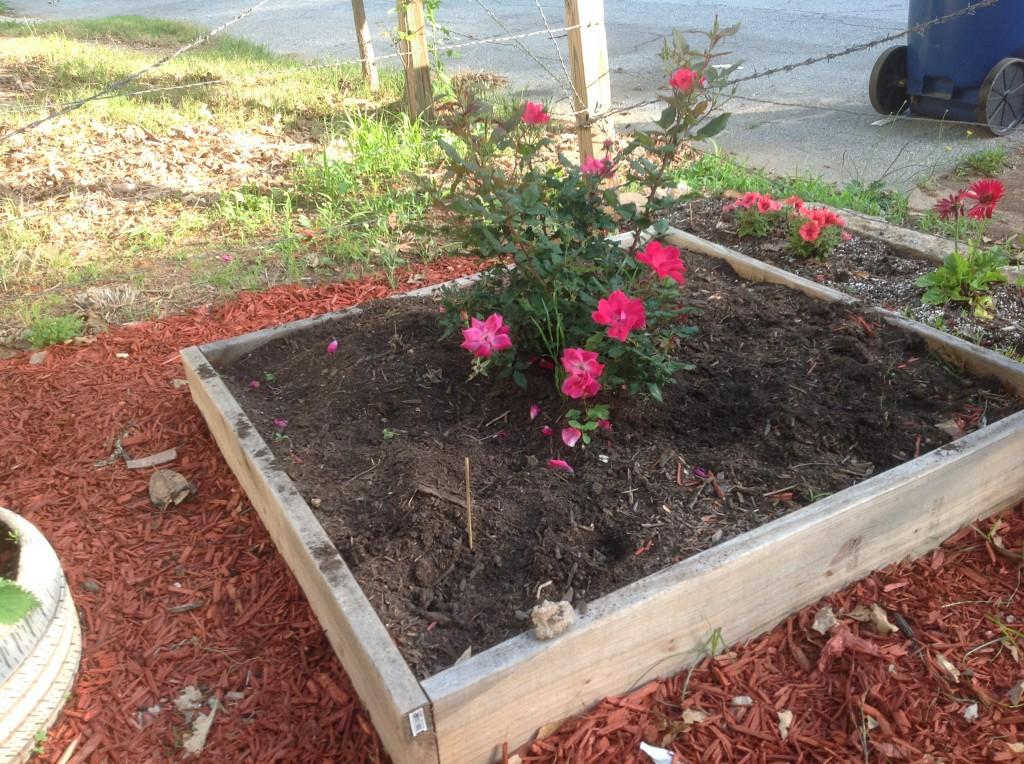 [roses] 8 weeks 1