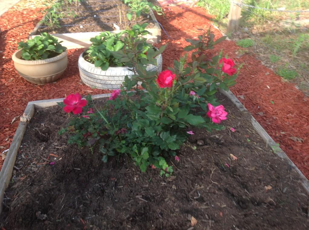 [roses] 8 weeks 2