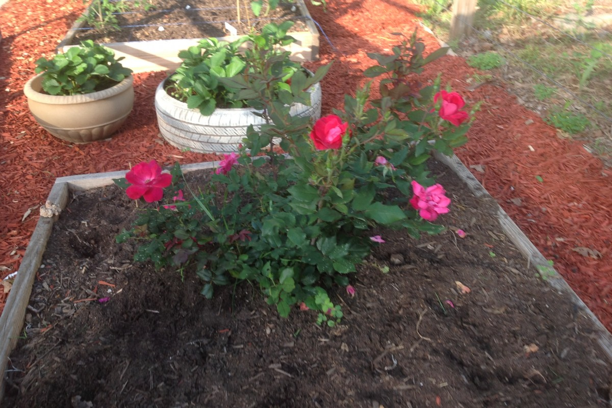 BEATLANTA GARDEN: Knockout Roses