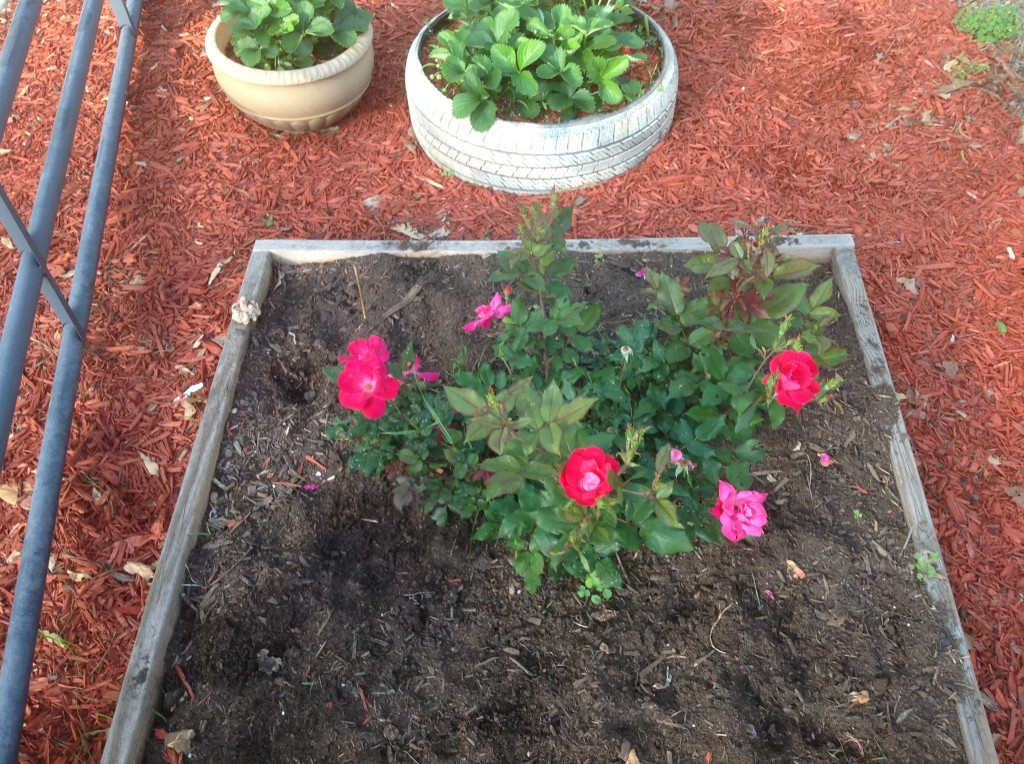 [roses] 8 weeks 3