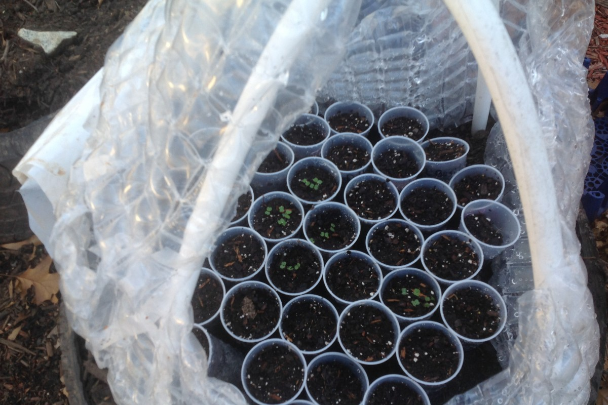 Beatlanta Garden: Transplanting Tomato seeds (instructions)