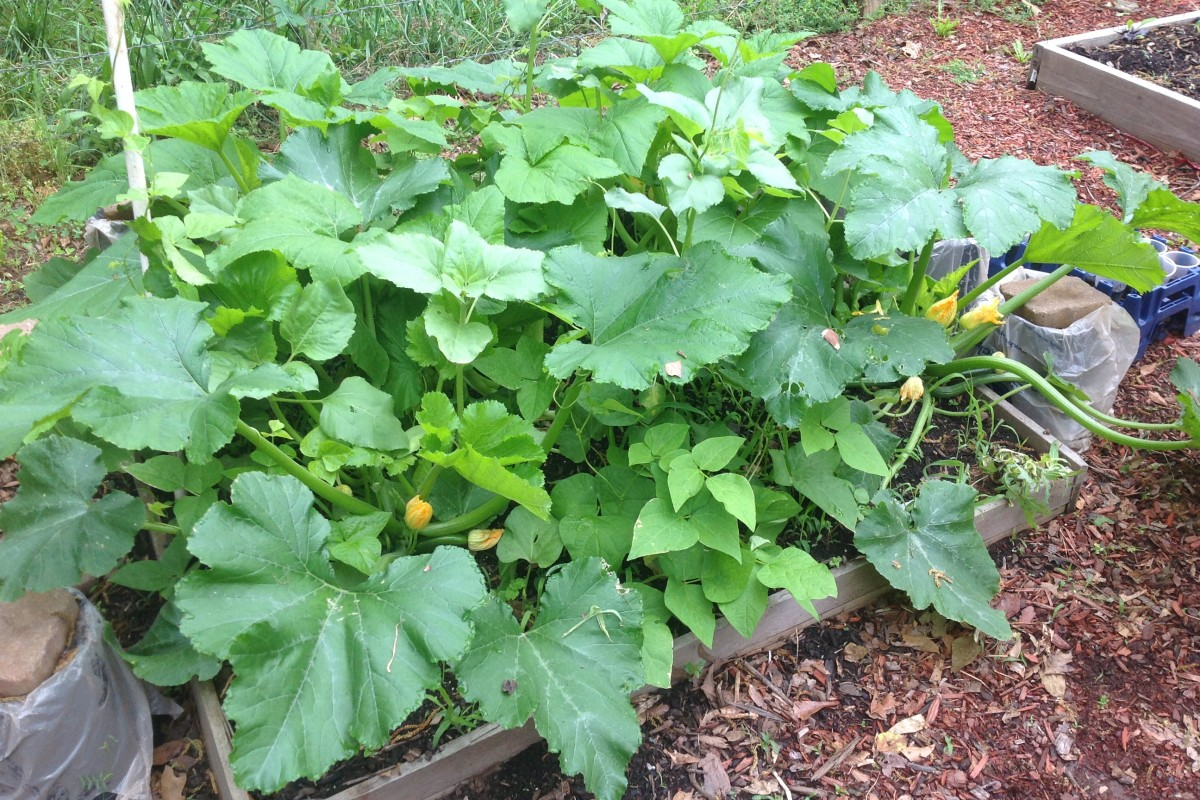 The Beatlanta Garden: Squash is on the way