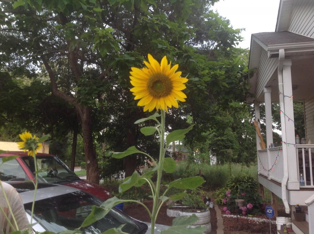 [garden] sunflowers 7.8.14 1