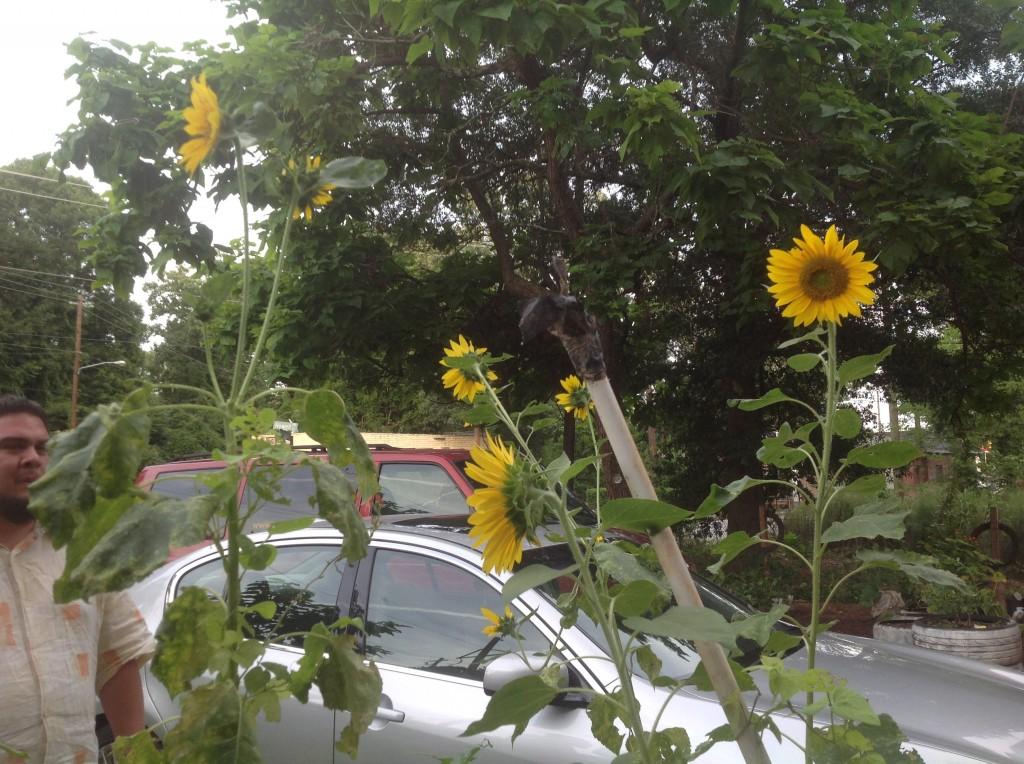 [garden] sunflowers 7.8.14 2