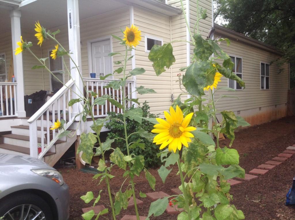 [garden] sunflowers 7.8.14 3